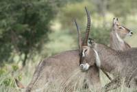 Courting Waterbuck