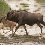 """Running Wildebeest and Calf"" by SederquistPhotography"