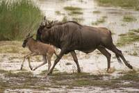 Running Wildebeest and Calf