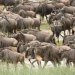 """Herd of Wildebeests, Serengeti"" by SederquistPhotography"