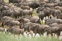 Herd of Wildebeests, Serengeti