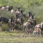"""Wildebeest Herd Crossing a Marsh, Serengeti"" by SederquistPhotography"