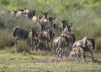 Wildebeest Herd Crossing a Marsh, Serengeti