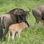 """Wildebeest Mama Nuzzling her Baby"" by SederquistPhotography"
