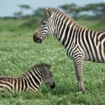 """Zebra Mom and Baby"" by SederquistPhotography"