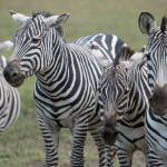 """Zebra Pals, Ngorongoro Crater"" by SederquistPhotography"