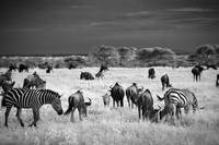 Infrared Image of Zebras and Wildebeests, Serenget