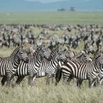 """Zebra Herd Looking at Lions"" by SederquistPhotography"