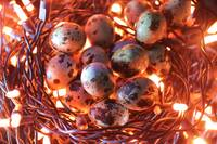Nest of Quail's Eggs