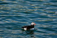 Puffin Swimming in a FlatSea