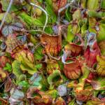 """Norther Pitcher Plants Bursting with Color"" by Pipevinestudio"