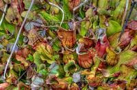 Norther Pitcher Plants Bursting with Color