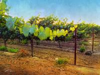 Grape Vine in the Vineyard