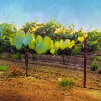 Grape Vine in the Vineyard Art Prints & Posters by Shari Warren