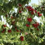 """Under the Cherry Tree"" by Groecar"