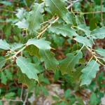 """Havard Oak Branch"" by robertmeyerslussier"