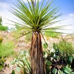 """Desert Palm"" by robertmeyerslussier"