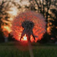 Sunset Dandelion (square)