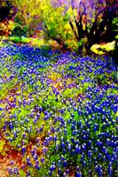 Misty's Bluebonnets