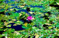 Water Lilly and Pads