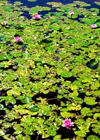 Water Lillies Pads and Pond
