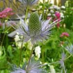 """Eryngium Blue Star"" by vpicks"