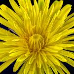 """Dandelion (0625)"" by Fotofrieze"