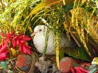 White Dove in Jamaica