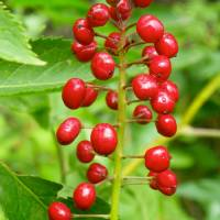 Red Berries Art Prints & Posters by Capturing Nature