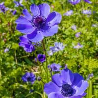 Beautiful anemones Art Prints & Posters by Susan Leonard