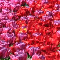 Tulips everywhere Art Prints & Posters by Susan Leonard