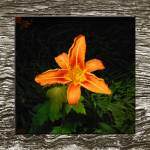 """Flower-Asiatic Lily"" by AppleCoreStudio"