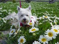 Miss Daisy And The Field Of Flowers
