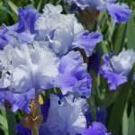 """Blue Irises Flowers Art Prints Iris Floral Garden"" by BasleeTroutman"