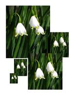 Lily of the Valley quintuplets