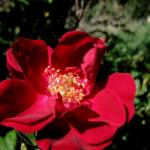 """""""Rose Red"""" by 2cats2"""