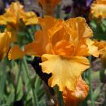 """Irises Orange Iris Flowers Floral Gardens prints"" by BasleeTroutman"