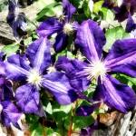 """Clematis on a Stone Wall"" by susansartgallery"