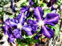 Clematis on a Stone Wall