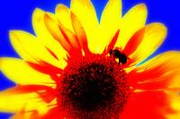 Sunflower Series II