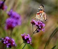 American Painted Lady Butterfly in Field
