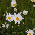"""Shasta Daisy"" by StephanieBrower"