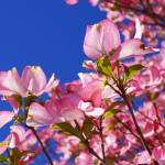 """Dogwood Trees Blossoms Flowers Art Prints Pink Blu"" by BasleeTroutman"