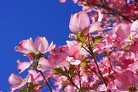 Dogwood Trees Blossoms Flowers Art Prints Pink Blu