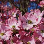 """Dogwood Tree Flowers Art Prints Pink Floral"" by BasleeTroutman"