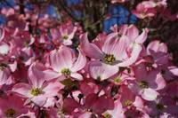 Dogwood Tree Flowers Art Prints Pink Floral