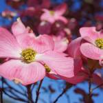 """Floral Art Prints Pink Dogwood Flowers Nature"" by BasleeTroutman"
