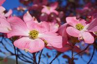 Floral Art Prints Pink Dogwood Flowers Nature