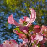 """Botanical Forest Art Prints Pink Dogwood Flowers"" by BasleeTroutman"
