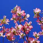 """Blue Sky Floral Art Prints Pink Dogwood Flowers"" by BasleeTroutman"